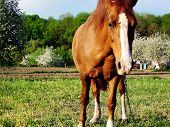Beautiful Wild Brown Horse Stallion On Summer Flower Meadow, Equine Eating Green Grass. Horse Stalli poster