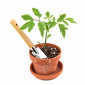 image of photosynthesis  - Young tomato seedling in a clay pot with a garden trowel - JPG