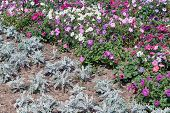 Flower Bed Of Decorative Flowers And Plants Planted In The Garden On The Ground. Flowers Of Differen poster