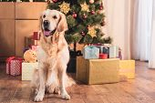 Funny Golden Retriever Dog Sitting Near Christmas Tree With Gift Boxes poster