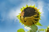 Ripe Sunflower Head With Seeds Against The Blue Sky. Birds Ate Sunflower Seeds. Birds Ate Some Of Th poster