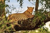 African Leopard, Panthera Pardus, Resting In A Tree In The Nature Habitat. Big Cat In Kruger Nationa poster