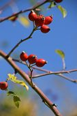 Ripe Rose Hips On Branch In Autumn Sun, Rose Hip Also Called Rose Haw Fruits In Early October On Bra poster