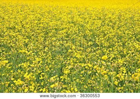 Summer Background. Blooming Yellow Meadow.