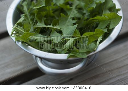 Dandelion Leaves In Metal Colander