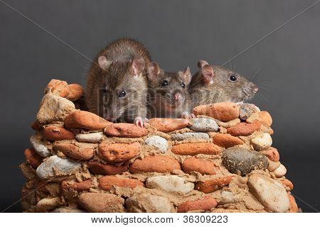 Tres ratas