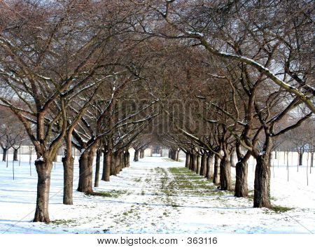 Cherry Orchard In Winter