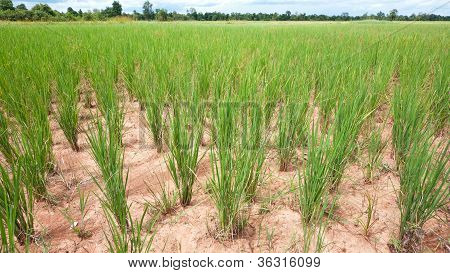Dry Rice Field In Cambodia