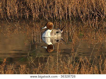 Marreca-arrebio pato