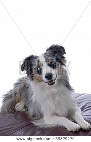 Blue-eyed Miniature Australian Shepherd