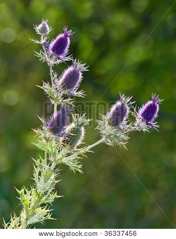 Purple Eryngo wildflower