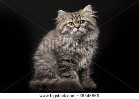 Lindo gatinho persa em fundo preto