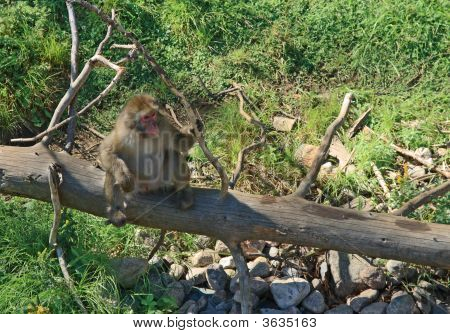 Japanese Macaque On A Dry Tree