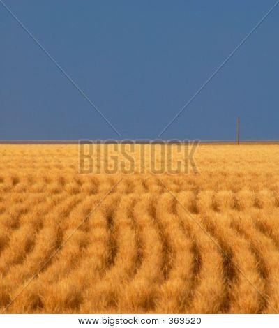 Colorado Wheat Field