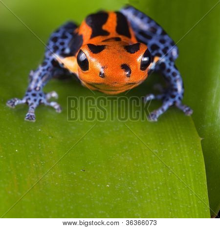 Frog with red lines and blue legs, poison dart frog of amazon rain forest in Peru, poisonous animal of tropical rainforest, pet in terrarium
