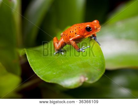 red frog with blue legs, poison dart frog, beautiful rainforest species of costa rica and panama kept as a pet in a terrarium ,oophaga pumilio exotic amphibian