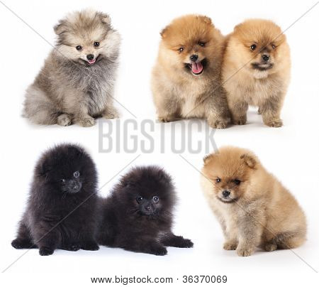 miniature pomeranian spitz puppy, group of puppies different colors