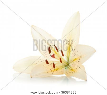 White lily. Isolated on white background