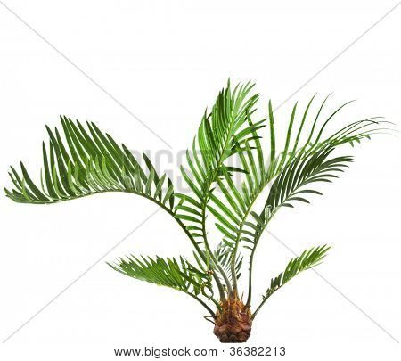 palm tree cycas on white background