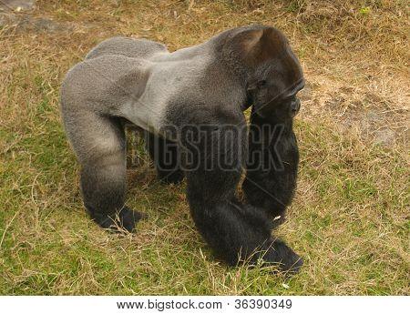 Silverback male Lowland Gorilla
