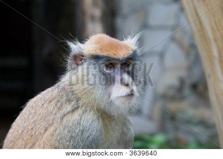 Monkey Patas