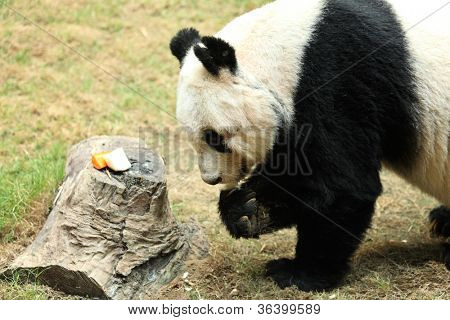 giant panda eating