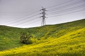 Mustard Field, Oak Tree And Power Transmittion Tower