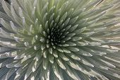 Silversword Closeup