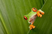 stock photo of tree frog  - red eyed tree frog peeping curiously between green leafs in rainforest Costa Rica curious cute night animal tropical exotic amphibian - JPG