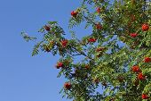 red ashberry rowan berries on a tree