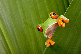 image of cute frog  - red eyed tree frog peeping curiously between green leafs in rainforest Costa Rica curious cute night animal tropical exotic amphibian - JPG