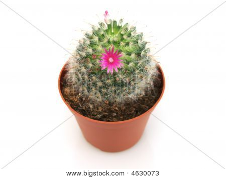 Close-up View Of Blossoming Cactus In A Pot