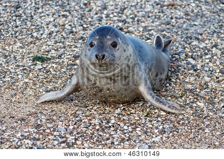 Seal On The Dune Of Helgoland Posing To The Cam