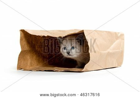 Cute Kitten In A Bag