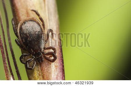Dark Brown Tick On A Plant Stalk