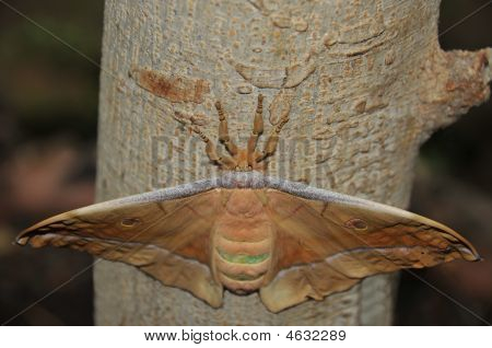 The Head And Legs Of The Tussar Silk Moth