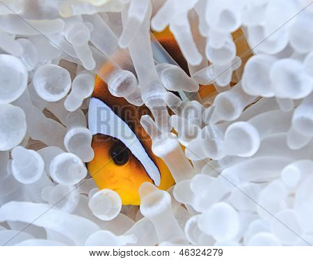 Anemonefish in bleached sea anemone. Bleaching or lost of color is a result of the loss of an anemone�s zooxanthellae which is caused by excessive temperature changes in oceans