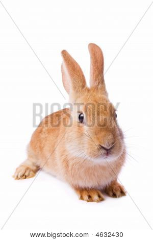 Timid Young Red Rabbit
