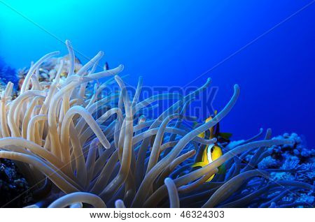 Juvenile anemonefish over leather anemone with copy space for your text