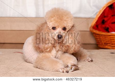 Miniature Brown Poodle Resting