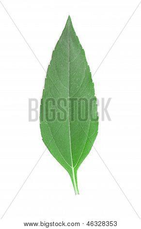 Girasol leaf.