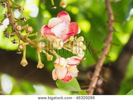 Shorea Robus Flowers