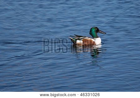 Northern Shoveler In Bright Plumage