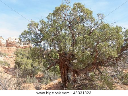 Tough Old Utah Juniper