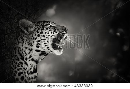 Leopard Portrait (Artistic processing) - Kruger National Park - South Africa