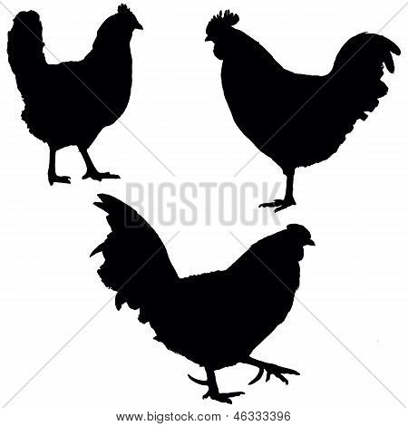 Roosters And Hen