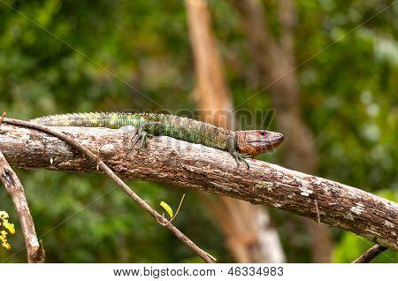 Caiman lagarto asoleándose sobre una rama del bosque lluvioso