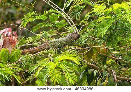 Caiman lagarto en un árbol del bosque lluvioso