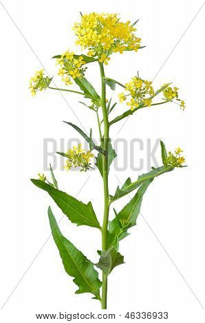 Brassica Campestris Flower