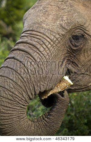 Elephant Eating A Prickly Pear